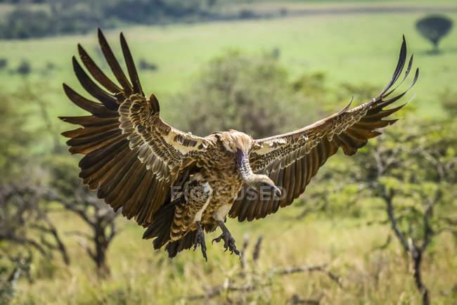 Белый гриф (Gyps affelus) вытягивает крылья на землю, Сережа; Танзания — стоковое фото