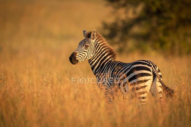 Pianura zebra in piedi in erba guardando macchina fotografica a vita selvaggia — Foto stock