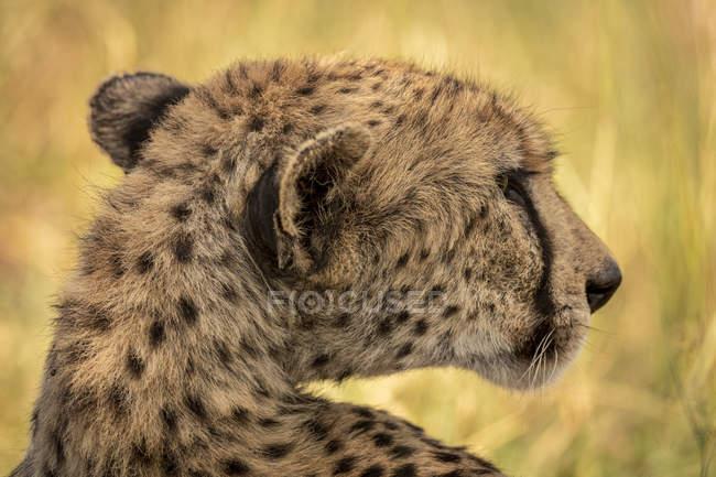 Nahansicht des majestätischen Geparden in wilder Natur — Stockfoto