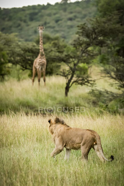 Majestic male lion in wild nature hunting giraffe — Photo de stock