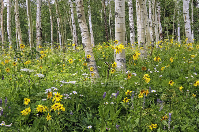 Wildflowers in a meadow among birch trees, Denver, Colorado, United States of America — Stock Photo