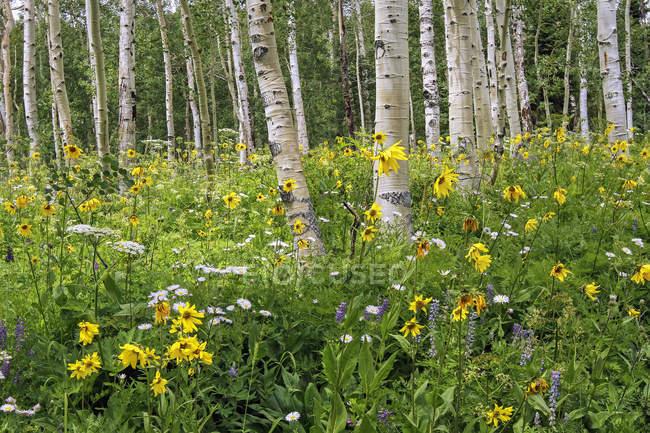 Wildblumen auf einer Wiese zwischen Birken, Denver, Colorado, Vereinigte Staaten von Amerika — Stockfoto