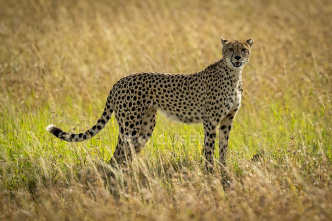 Closeup view of majestic cheetah in wild nature — Stock Photo