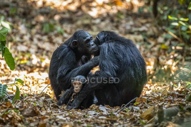 Scimpanzé femmine (Pan troglodytes) che si preparano a vicenda mentre un bambino siede tra loro nel Parco Nazionale delle Montagne Mahale sulle rive del Lago Tanganica; Tanzania — Foto stock