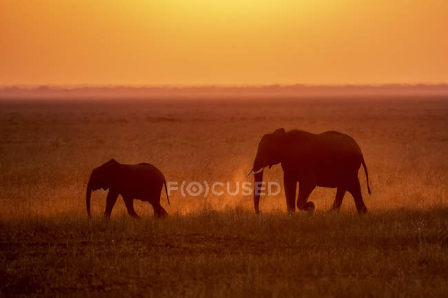 Beautiful grey African elephants in wild nature at sunset, Serengeti National Park; Tanzania — Stock Photo