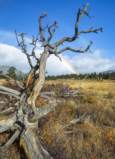 Мертве дерево на полі спереду і веселка здалека; Денвер, Колорадо, Сполучені Штати Америки — стокове фото