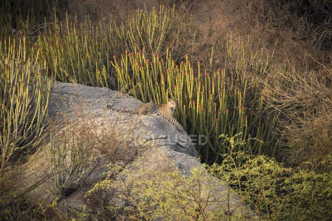 Vista panoramica del maestoso leopardo nella natura selvaggia rilassante sulla roccia — Foto stock