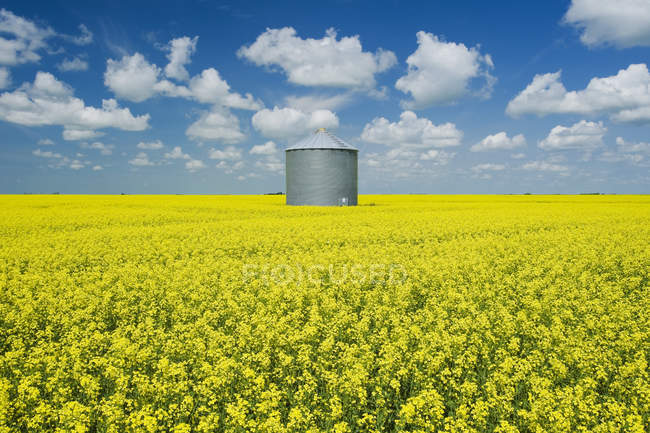Field of bloom-stage canola with old grain bin (silo) in the background, near Grenfell; Saskatchewan, Canada — Stock Photo