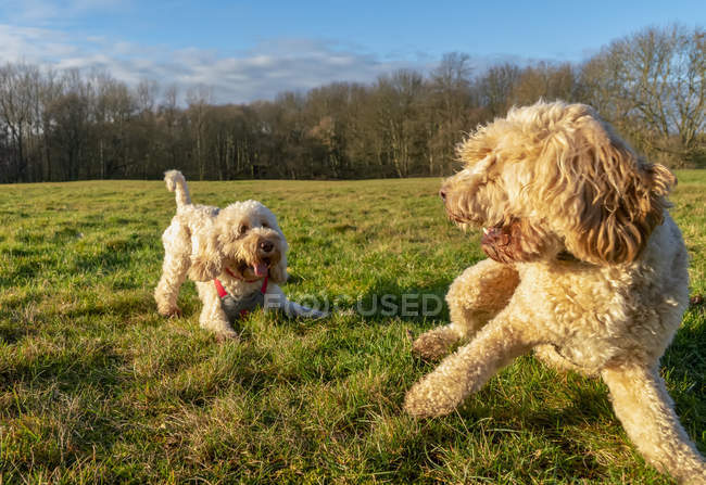 Две собаки, играющие на траве; Ньюкасл, Тайн и Веар, Англия — стоковое фото