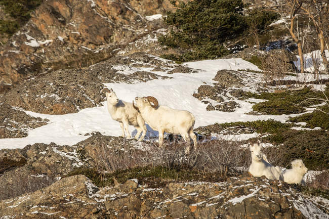 Dall sheep rams with ewe at wild nature, Denali National Park and Preserve, Alaska, United States of America — Stock Photo