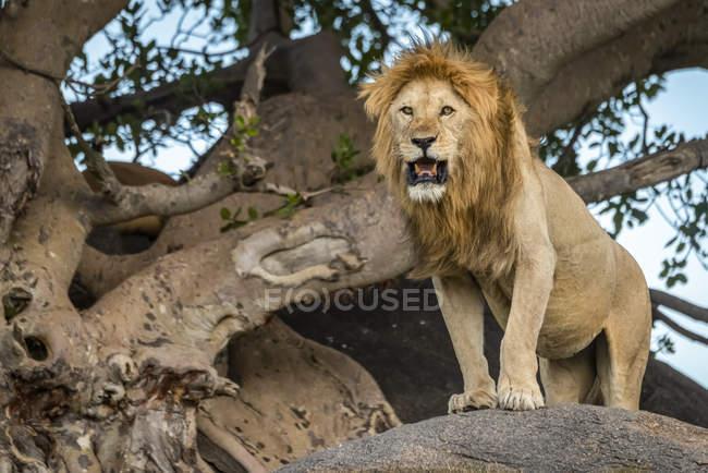 Величний чоловічий Лев в дикій природі позує на дереві — стокове фото