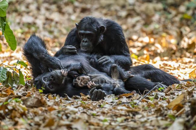 Femelle chimpanzée (Pan troglodytes) couchée sur le dos avec un bébé dans les bras, soignée par une autre femme dans le parc national des monts Mahale, sur les rives du lac Tanganyika ; Tanzanie — Photo de stock