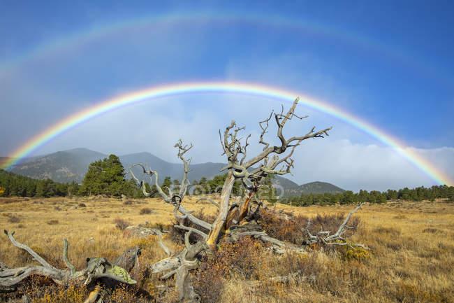 Toter Baum auf einem Feld im Vordergrund und ein Regenbogen in der Ferne; Denver, Colorado, Vereinigte Staaten von Amerika — Stockfoto