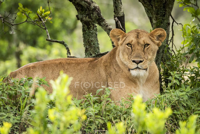 Majestic lioness or panthera leo at wild life in bushes — Photo de stock
