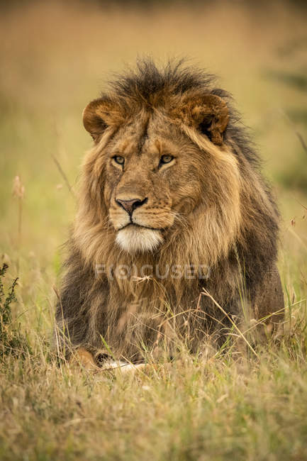 Majestic male lion in wild nature in grass — Stock Photo