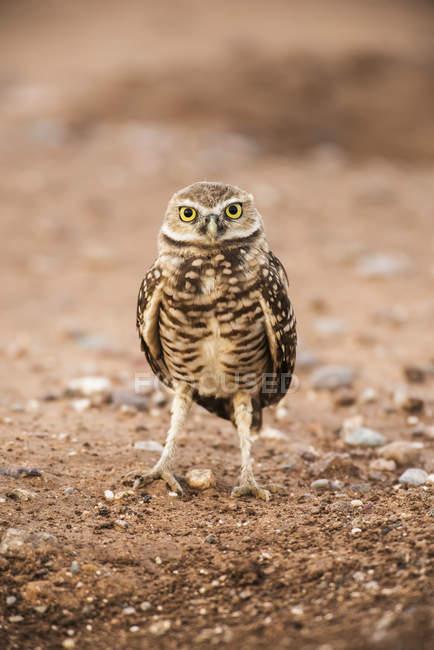 Vista in primo piano del bellissimo uccello gufo Burrowing in natura selvaggia, sfondo sfocato — Foto stock