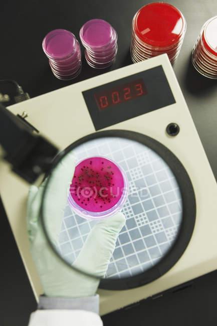 Vista de primer plano del científico que analiza las colonias bacterianas - foto de stock