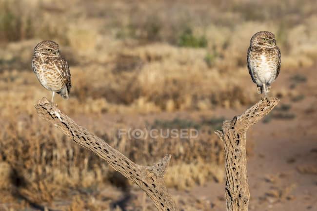 Vue rapprochée de beaux oiseaux de la Chevêche des terriers dans la nature sauvage, arrière-plan flou — Photo de stock
