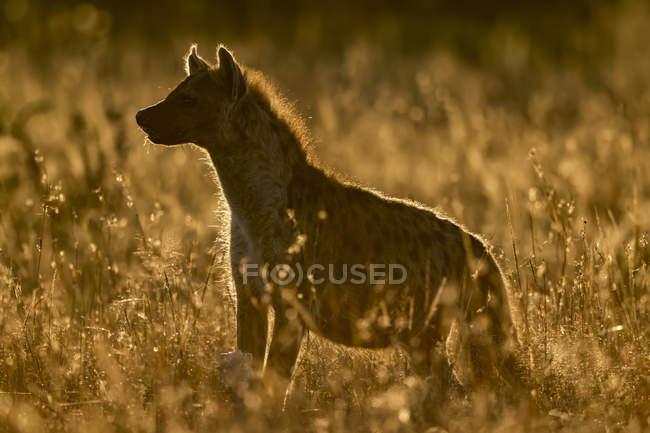Iena macchiato a erba lunga sotto il tramonto — Foto stock