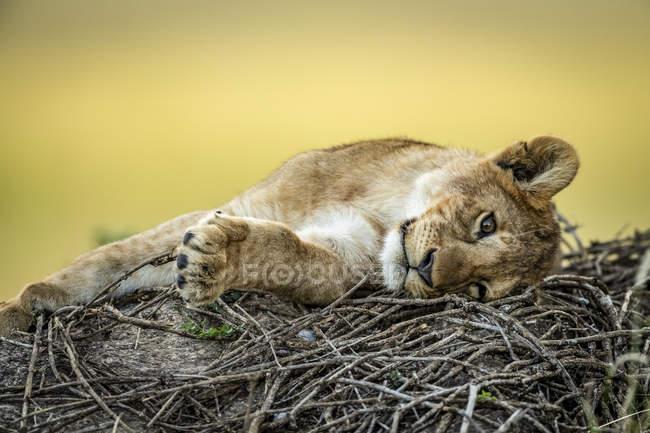 Vue panoramique de majestueux lionceaux à la nature sauvage, fond flou — Photo de stock
