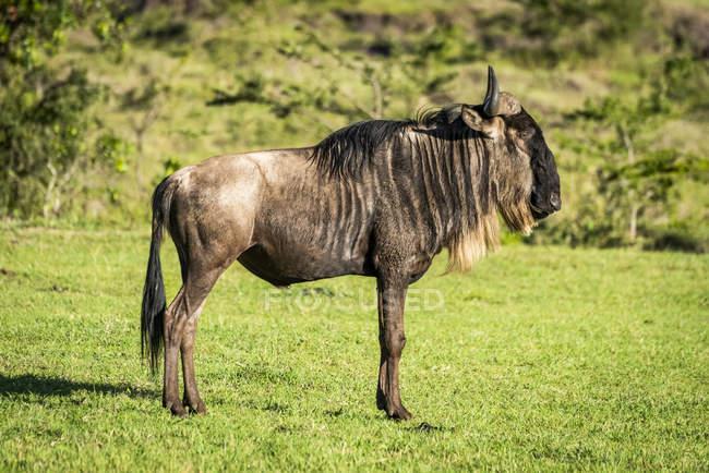 Blue wildebeest (Connochaetes taurinus) standing in profile on grass, Serengeti; Tanzania — Stock Photo