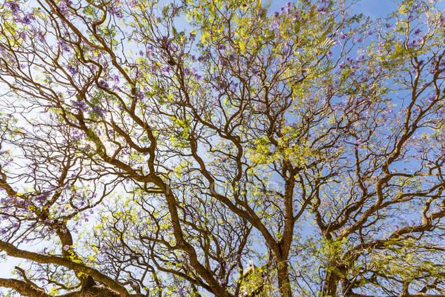Jacaranda tree; Axum, Tigray Region, Ethiopia — Stock Photo