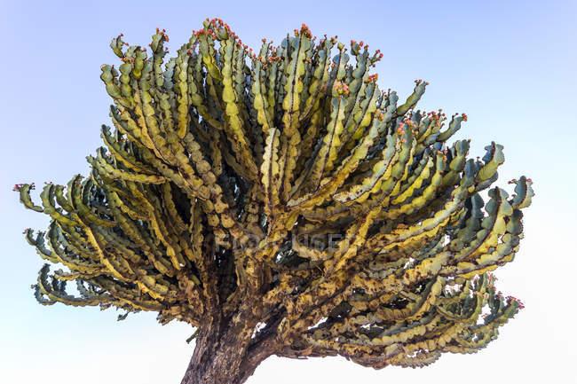 Arborescent cactus; Axum, Tigray Region, Ethiopia — Stock Photo