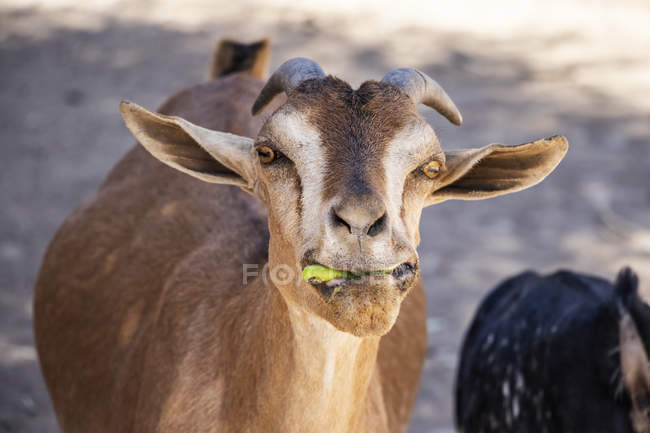 Goat eating something green in mouth; Harar, Harari Region, Ethiopia — Stock Photo