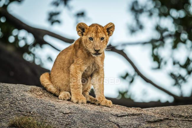 Vista panorámica de majestuoso cachorro de león sentado en la naturaleza salvaje - foto de stock