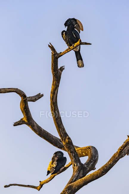 Hornbills posado en un árbol muerto contra el cielo — Stock Photo
