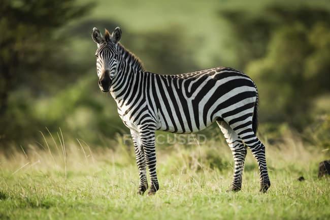 Plains zebra (Equus quagga) de pie en cámara de ojos de hierba, Serengeti; Tanzania. - foto de stock