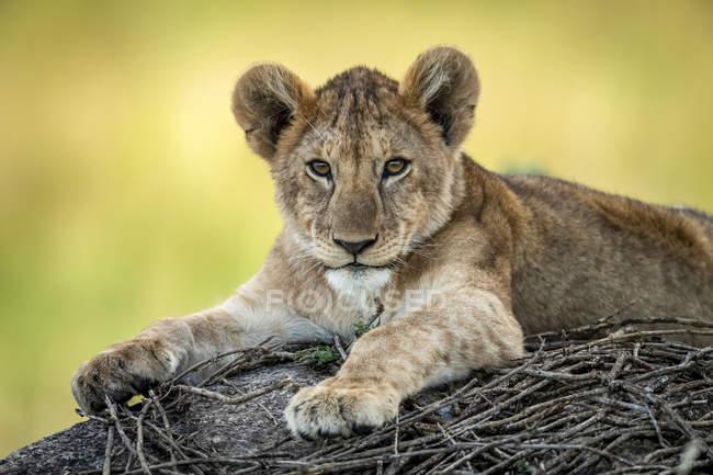 Malerische Ansicht des majestätischen Löwenjungen in wilder Natur, verschwommener Hintergrund — Stockfoto
