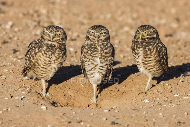 Vista dal primo piano dei bellissimi uccelli gufi Burrowing in natura selvaggia, sfondo sfocato — Foto stock