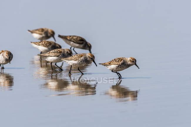 Sandpipers Occidentale ad acqua con riflessione — Foto stock