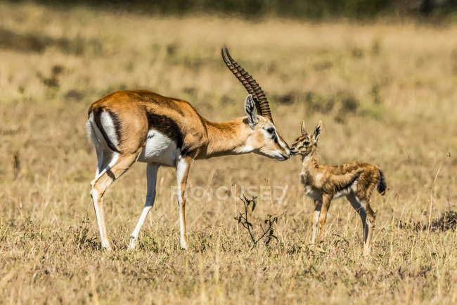 Female Thomson gazelle (Eudorcas thomsonii) bending to kiss baby, Serengeti; Tanzania — Stock Photo