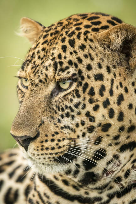 Majestic and beautiful leopard closeup view — Stock Photo