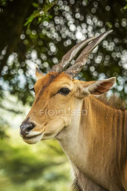 Primo piano della terra comune (Connochaetes taurinus) volto e spalle, Cottars 1920 Safari Camp, Maasai Mara National Reserve; Kenya — Foto stock