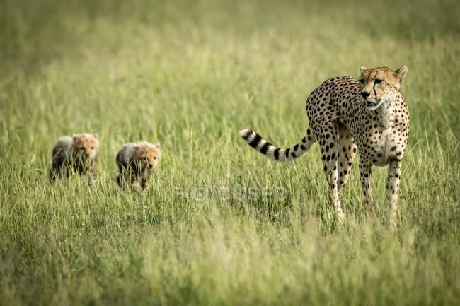 Majestuoso retrato escénico de Cheetahs en la naturaleza salvaje - foto de stock