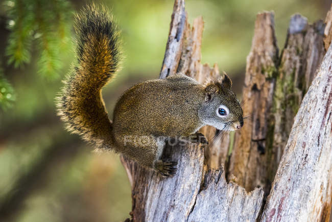 American Red Squirrel (Tamiasciurus hudsonicus) clinging to top of jagged stump; Silver Gate, Montana, United States of America — Stock Photo