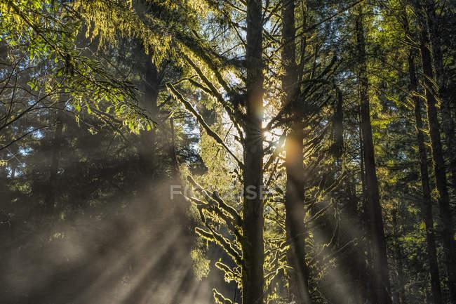 Vista panoramica delle famose foreste di sequoie della California settentrionale, California, Stati Uniti d'America — Foto stock