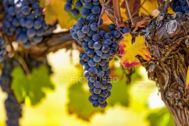 Racimos de uvas (vitis) en una vid con follaje de color otoñal, viñedos del Valle de Okanagan; Columbia Británica, Canadá - foto de stock