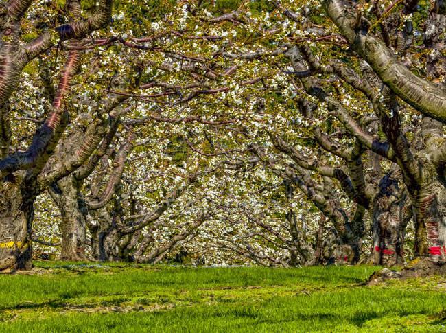 Вишневый сад в цветении весной, Оканаган; Британская Колумбия, Канада — стоковое фото