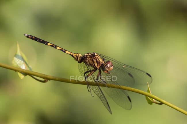 Dragonfly (Odonata), Bigodi Wetland Sanctuary, Bwindi Impenetable Forest; Western Region, Uganda — стокове фото