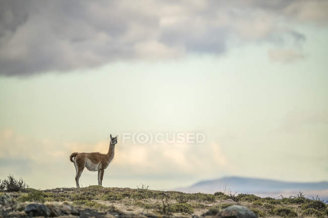 Guanaco is the primary food source for the puma of Southern Chile; Torres del Paine, Chile — Stock Photo