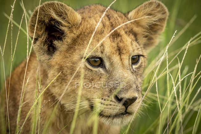 Aussichtsreicher Blick auf majestätische Löwenbabys in wilder Natur — Stockfoto