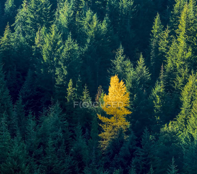 Alone golden tree in a forest of evergreens, Okanagan Valley; British Columbia, Canada — Stock Photo