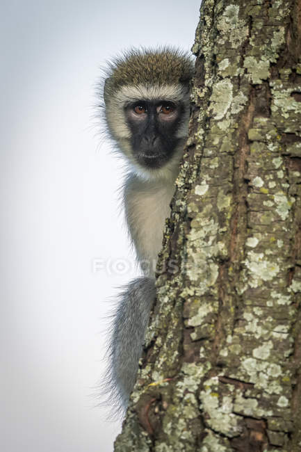 Monkey Vervet (Chlorocebus pygerythrus) tronco d'albero rampicante, Cottars 1920 Safari Camp, Maasai Mara National Reserve; Kenya — Foto stock
