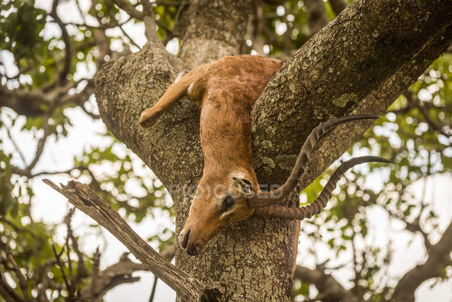 Carcassa impala maschile si trova in albero forcuta, Cottar's 1920 Safari Camp, Maasai Mara National Reserve; Kenya — Foto stock