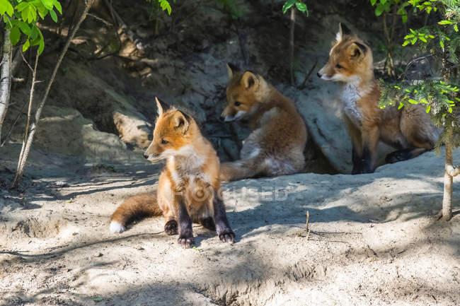 Три червоні лисиці (Vulpes vulpes) в їхніх лігвах біля Фербенкса; Аляска, Сполучені Штати Америки. — стокове фото