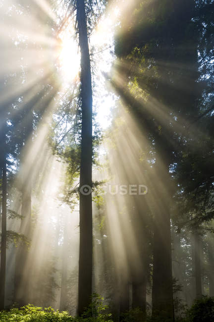 Sun rays through the misty air in a forest; California, United States of America — Stock Photo